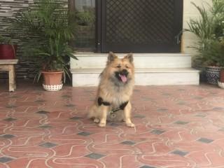 Pomeranian Champion
