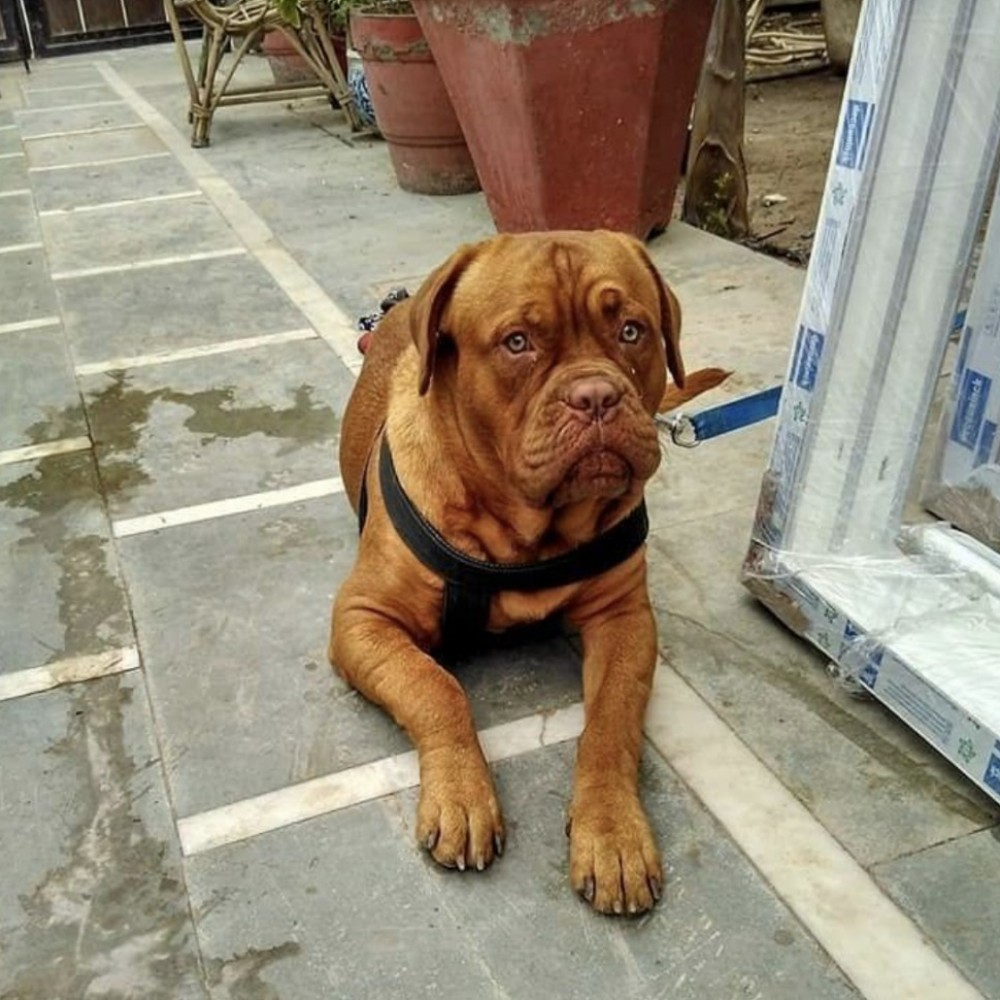 Looking For A Female For My French Mastiff Delhi