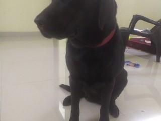 Female Labrador Black